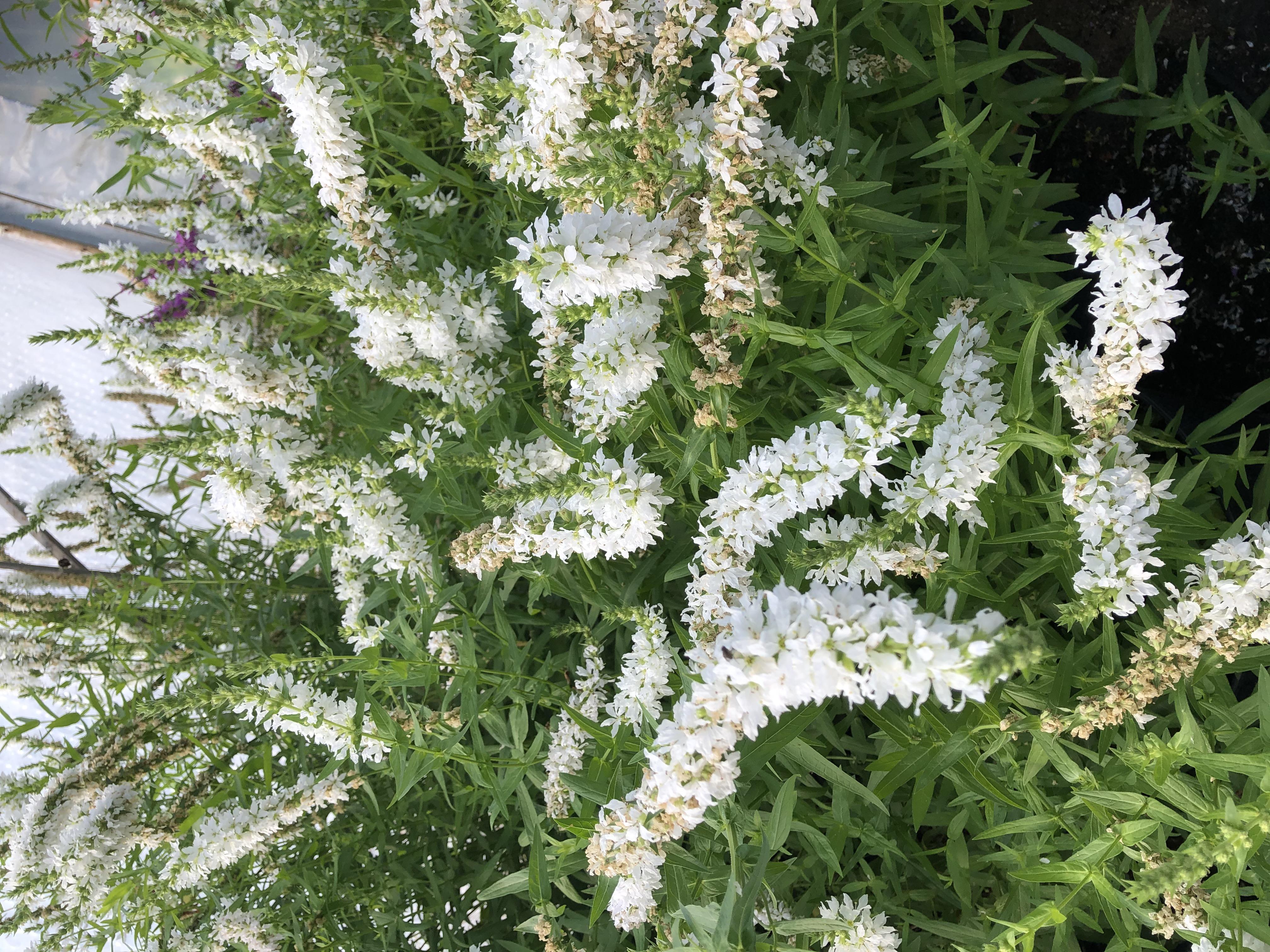 Lythrum salicaria-Blutweiderich weiß